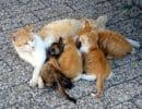 Послеродовая эклампсия кошек